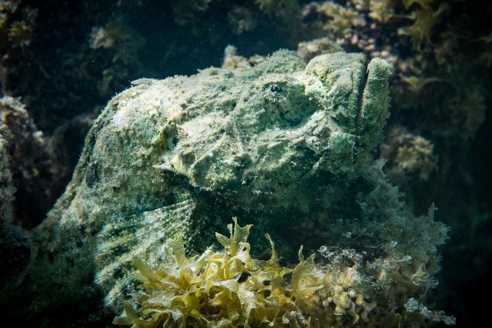 Scorpion Fish, Motu, Raiatea, French Polynesia