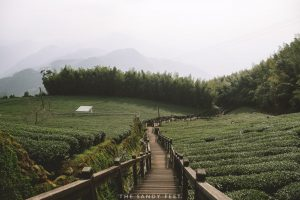 Trail of Tea. Shizhao. Alishan Mountain Villages. Taiwan.